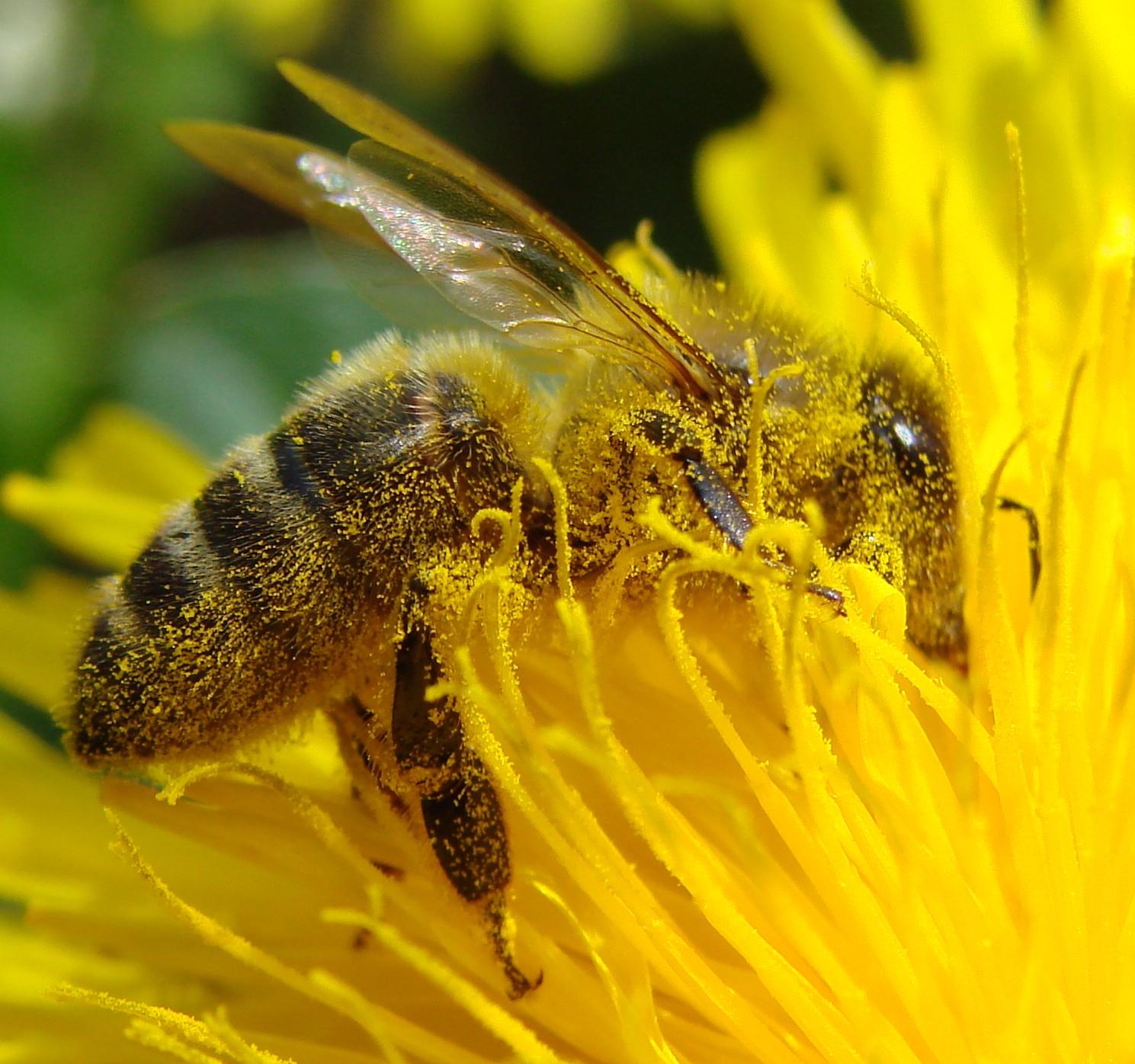 Pollination Dandelion